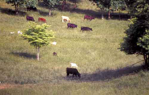 Goat-Cattle Cograzing