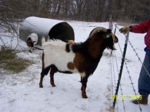 Goat Breeds Kiko – Goats