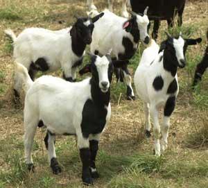 Goat Breeds Myotonic – Goats