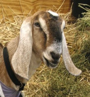 Dairy Goat Management – Goats
