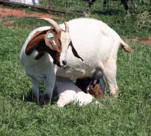 Goat Breeds Boer – Goats