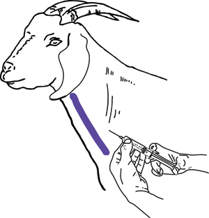 Goat Injections – Goats