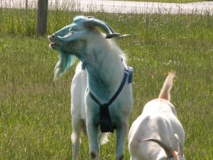 Goat Reproduction Puberty and Sexual Maturity – Goats